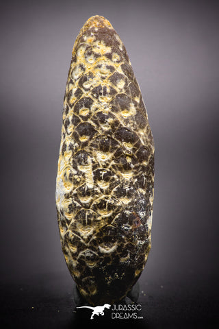 04470- Top Rare Fossilized Silicified Pine Cone EQUICALASTROBUS Eocene Sahara Desert