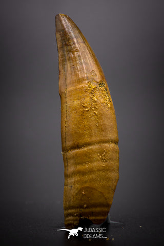"04488 - Top Rare Rooted 1.64 Inch Unidentified ""Dog-faced"" Crocodile Tooth From KemKem"