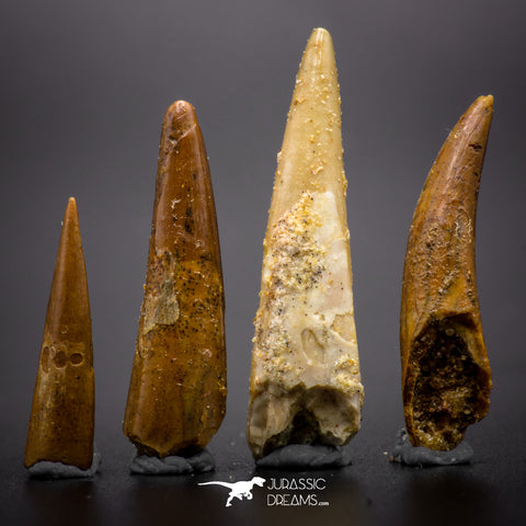 04502 - Top Quality Collection of 4 Cretaceous Pterosaur Teeth Coloborhynchus