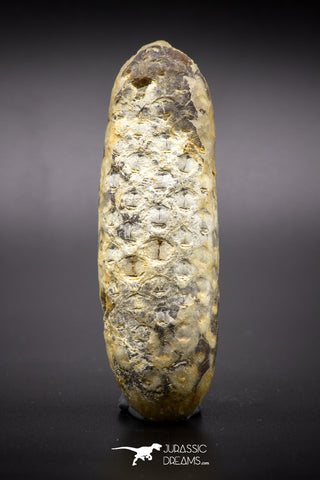 04574 - Top Rare Fossilized Silicified Pine Cone EQUICALASTROBUS Eocene Sahara Desert