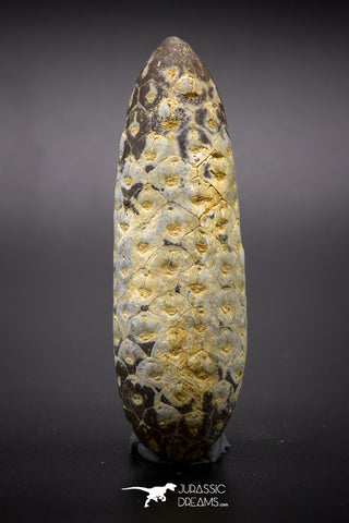 04575 - Top Rare Fossilized Silicified Pine Cone EQUICALASTROBUS Eocene Sahara Desert