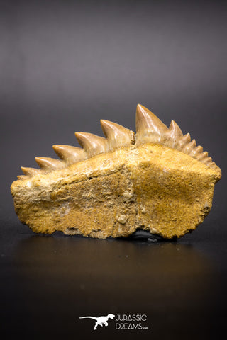 04612 - Top Huge 1.94 Inch Notidanodon loozi (Cow Shark) Tooth