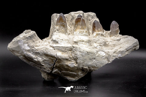 04639 - Top Quality 15.04 Inch Prognathodon currii (Mosasaur) Partial Left Hemi-Jaw Bone