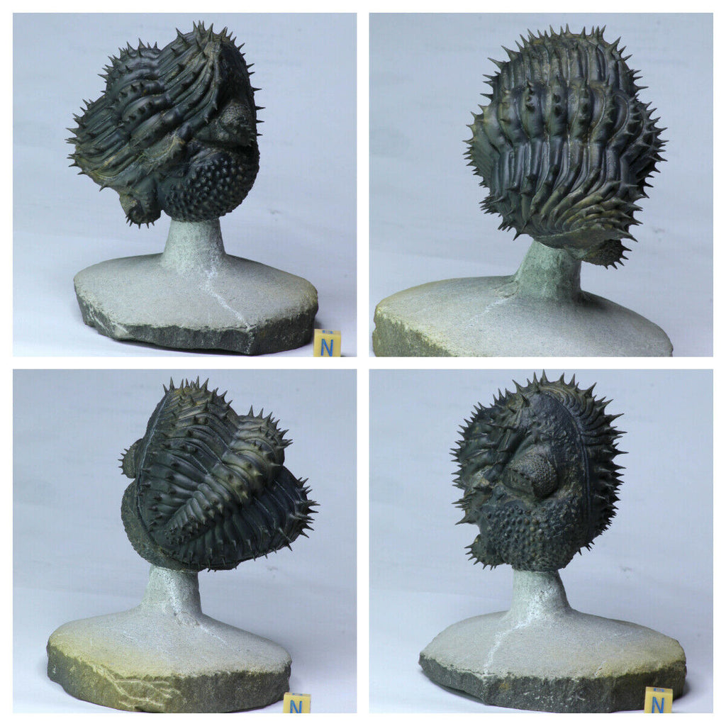 L188 - Finest Prep Spiny Rolled 3.14'' Drotops armatus Middle Devonian Trilobite - Order Chris