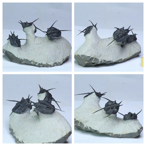 "L35 - Insane Association 3 ""Flying Devil Horned"" Cyphaspis Devonian Trilobites - Order 永森 陳"