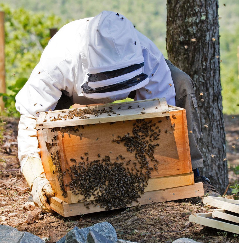 Swarming Bees And The Killing Of A Colony