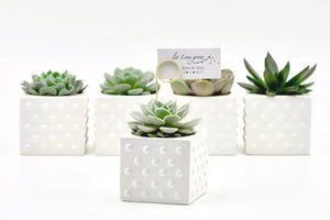 Succulent in Ceramic Polka Dot Pot