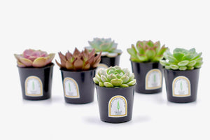 Mini Potted Succulent Plant – 6CM