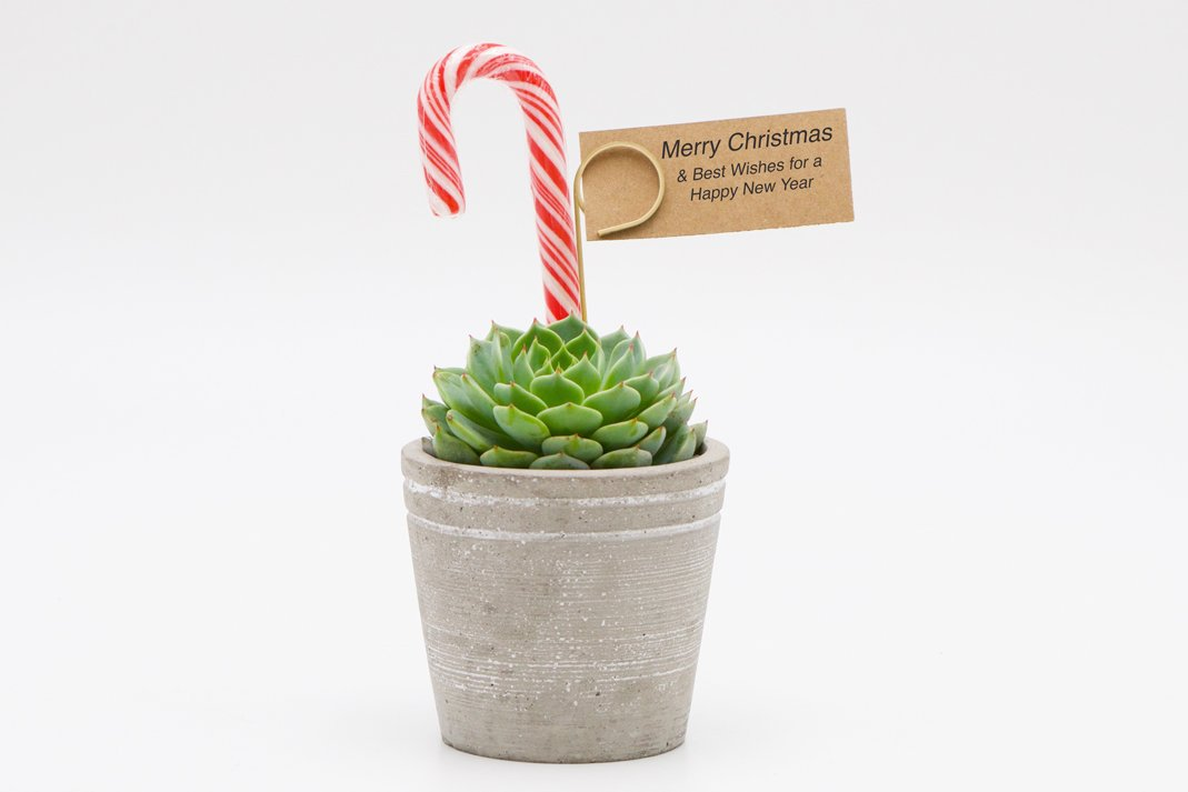 Succulent Christmas Gift in Concrete Pot - Small