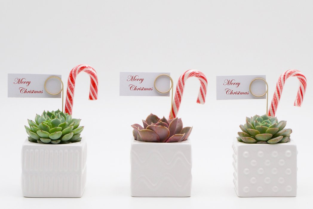 Succulent Christmas Gift | Buy Succulent and Baby Shower Gifts