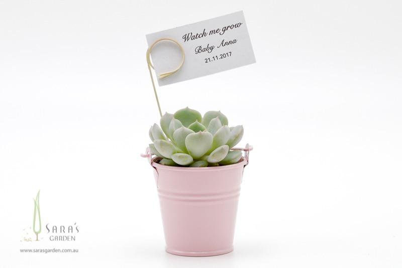 Succulent in Tin Bucket - Pink