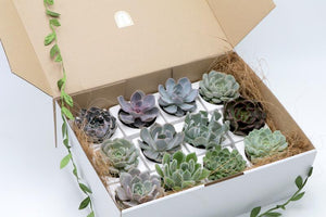 Potted Succulents Gift Box