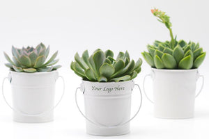 Succulent in White Tin Bucket - 9.5CM