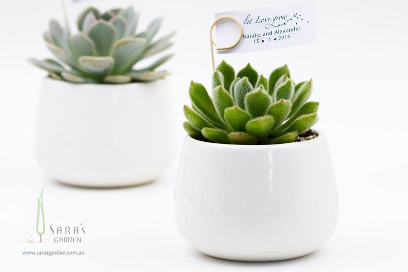 Succulent in White Ceramic Bowl