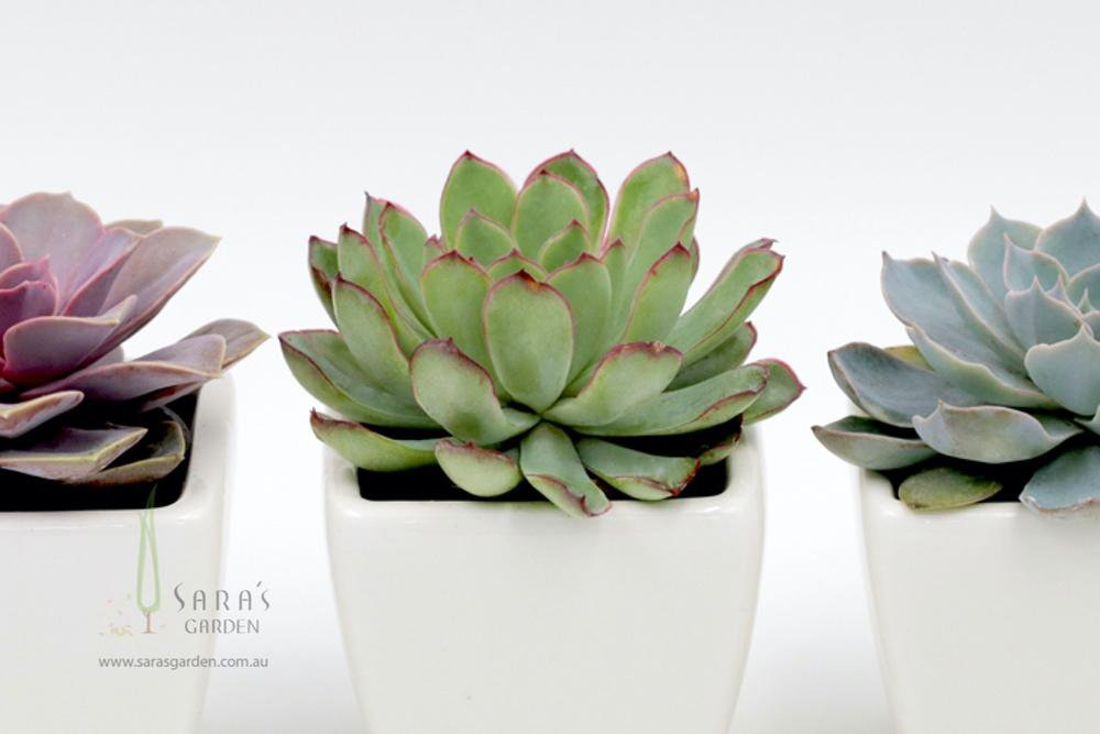 Succulent in square ceramic pot