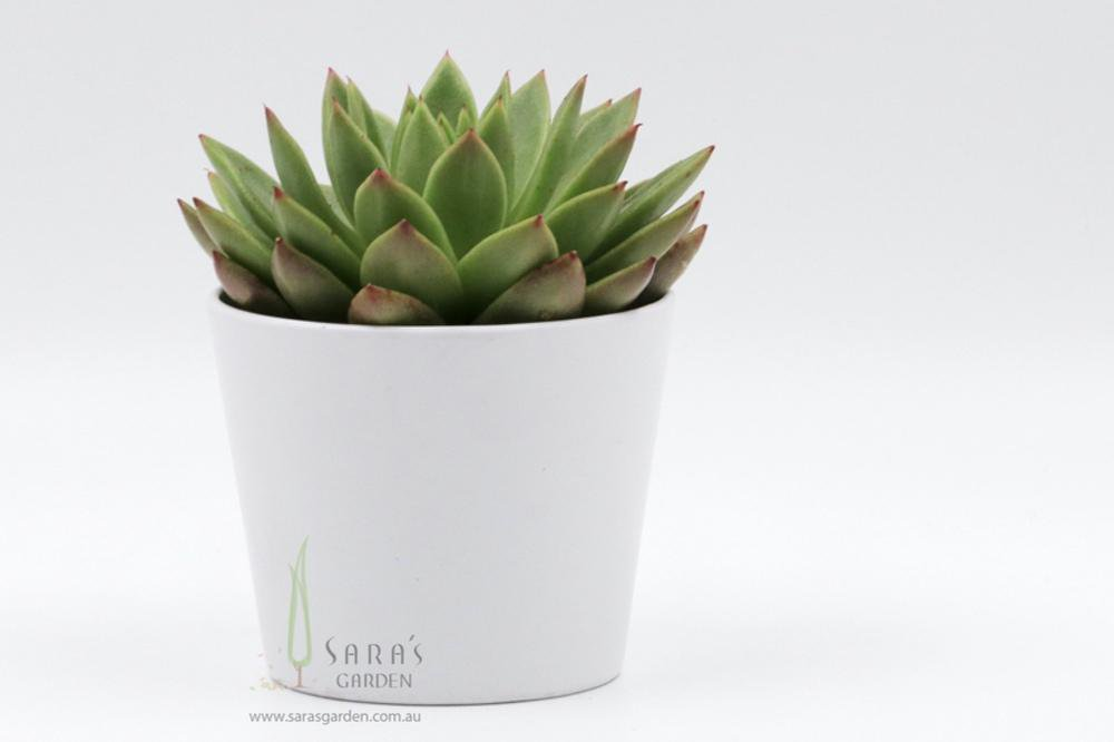 White Ceramic Potted Succulent Gift