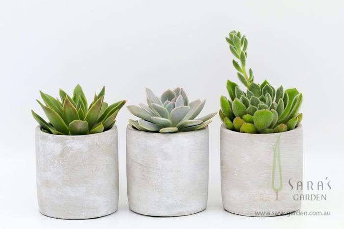 Large Concrete Potted Succulent Gift