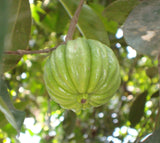 Garcinia Cambogia Fruit in Tree