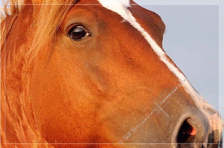 "In The Lens Photography: ""Wild Mustang Stallion Close Up"""