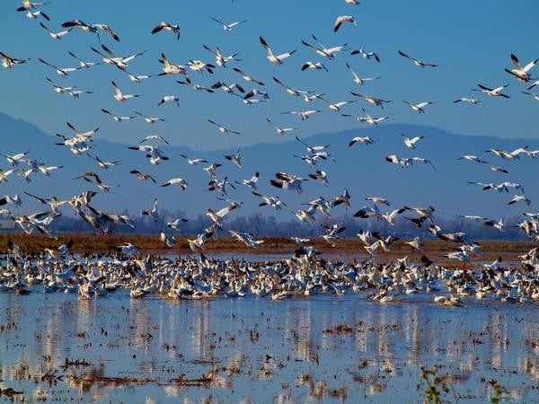 "Fine Art Print by CMQ Photography: ""Snow Geese"""