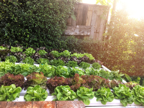Why Have An At Home Hydroponics Garden