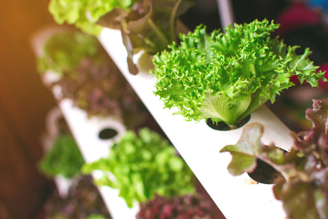 How To Build An At-Home Hydroponics Garden lettuce growing in hydroponic garden