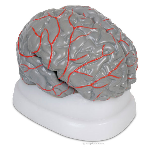 Brain Model-Archie McPhee