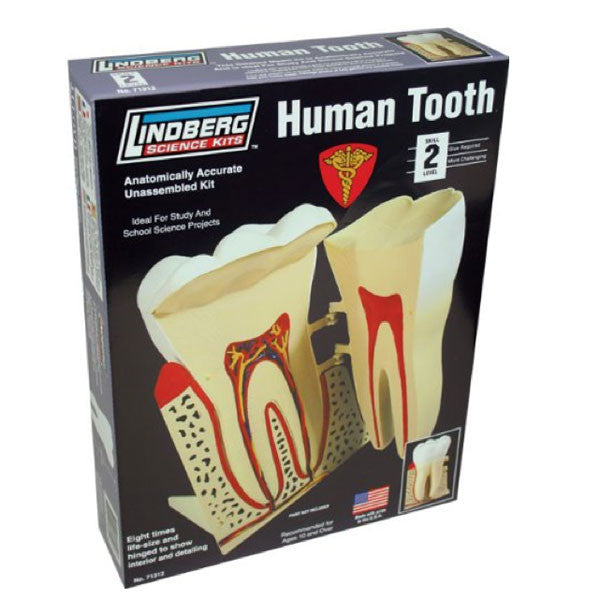 Human Tooth Model Kit-Archie McPhee