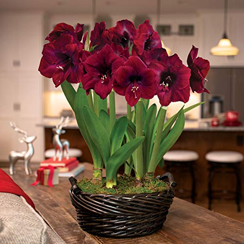 Amaryllis Bulb Garden Growing Tips