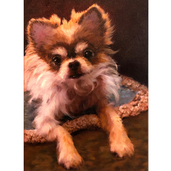 Portrait of a long haired Chihuahua