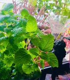 The Benefits of Growing Lemon Balm
