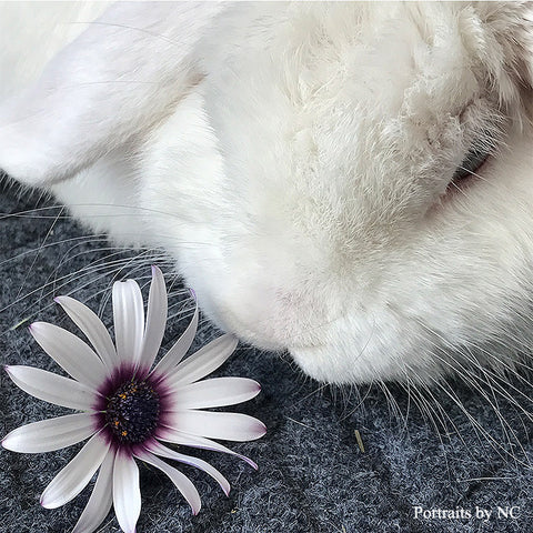 Holland Lop Rabbit Adoption