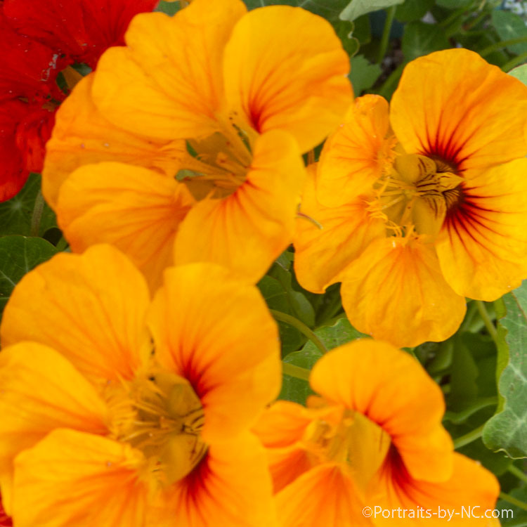 How to use Edible Flowers in Recipes