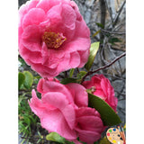 Caring for Camellia Bush