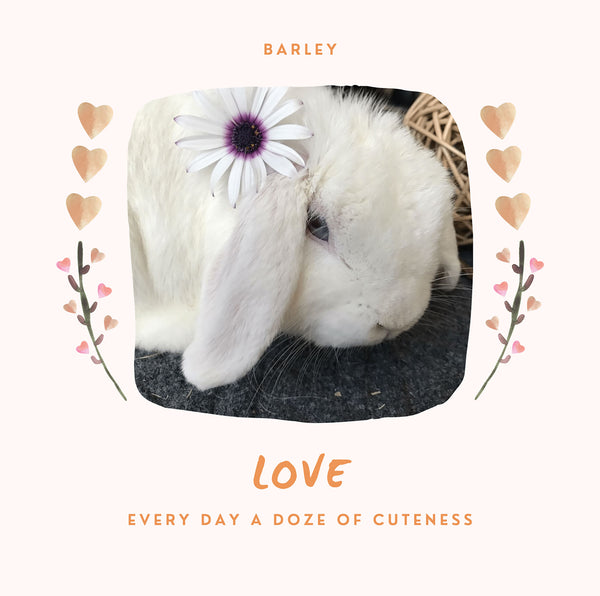 Affectionate Holland Lop Rabbits