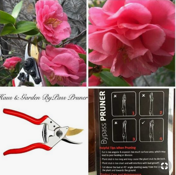 Pruning Shears for camellias