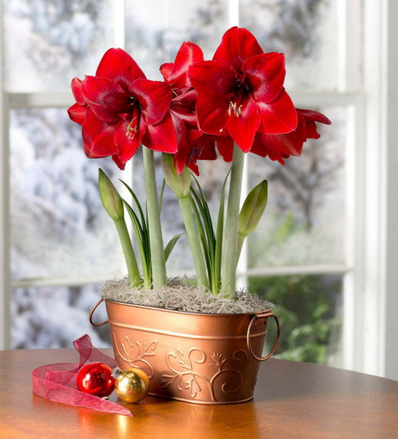 Amaryllis in Copper Container