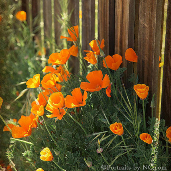 California Poppies by a Fence