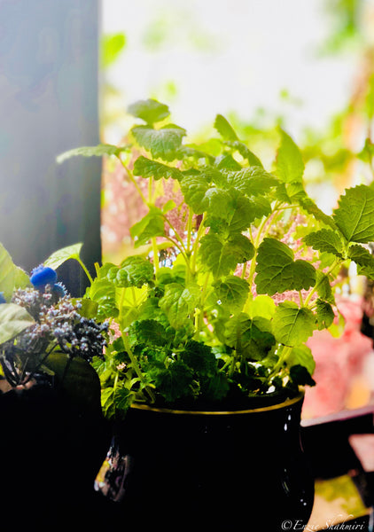 Lemon Balm grown indoors