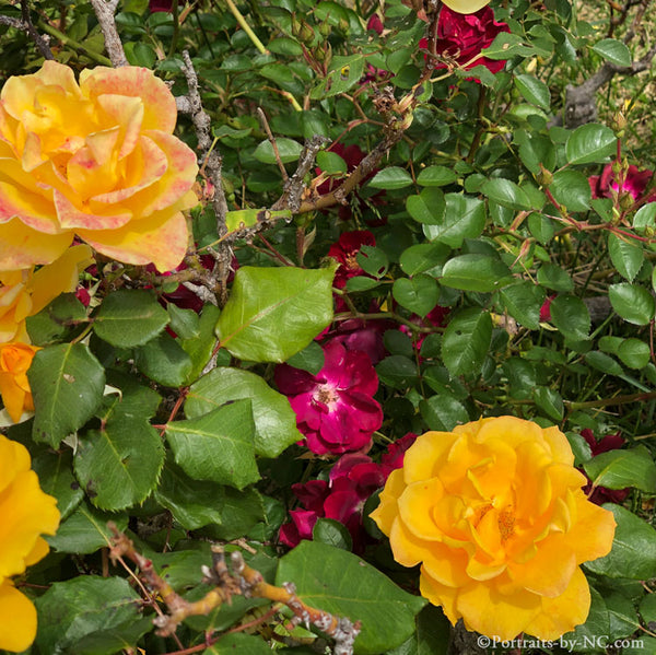Red and Yellow Rose Bush