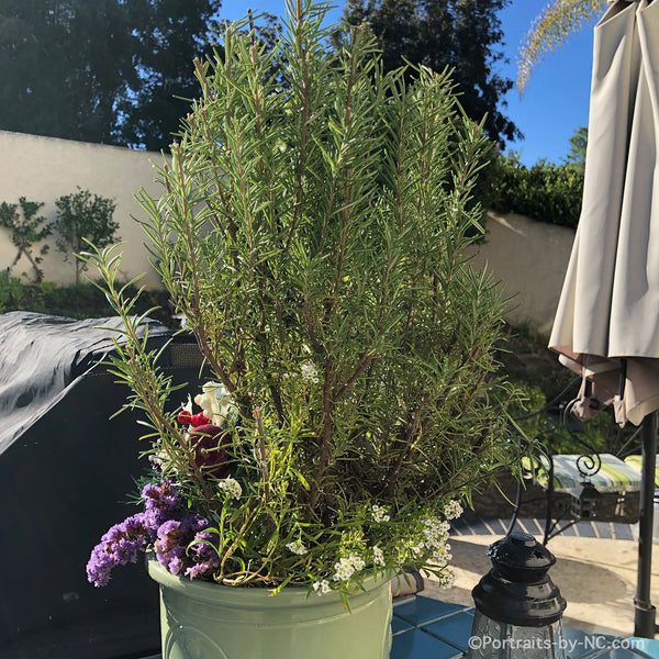 rosemary planted