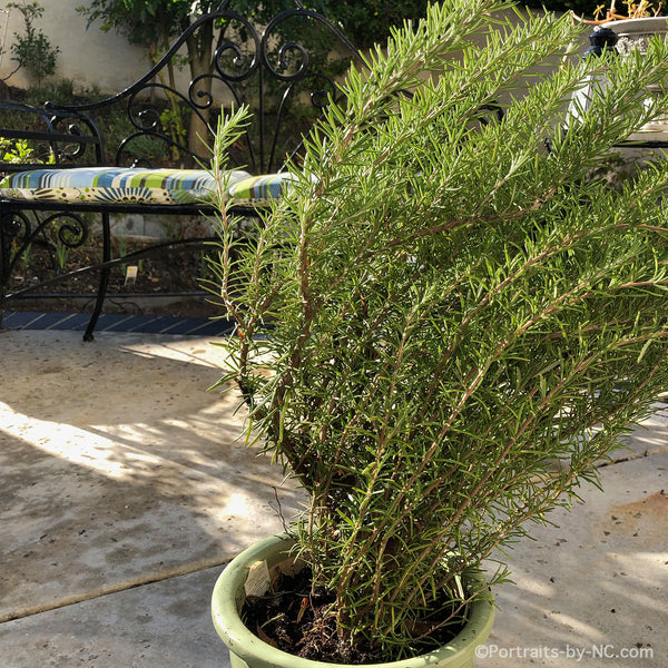 rosemary bush planted