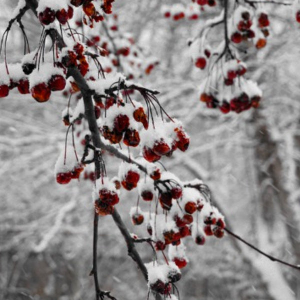 snow-covered-berries