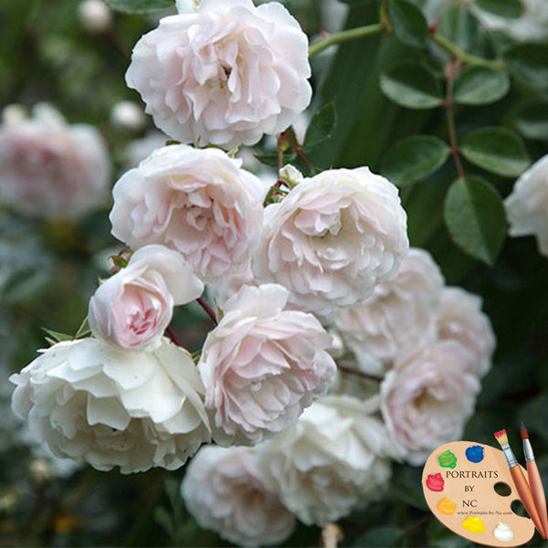 white-and-pink-roses