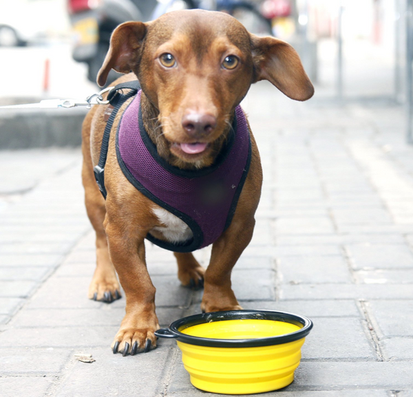 WIener dog with collapsable dog bowl