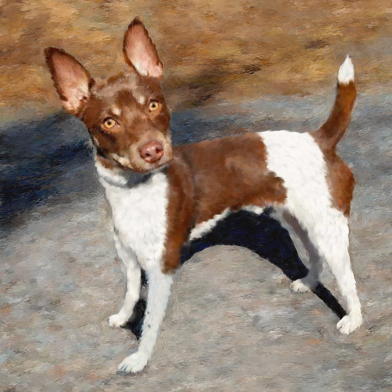 Rat Terrier Dog Portrait