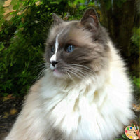 Ragdoll Cat Portrait 367