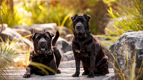 Rupert & Dora - The Sharpei Crosses behind the name