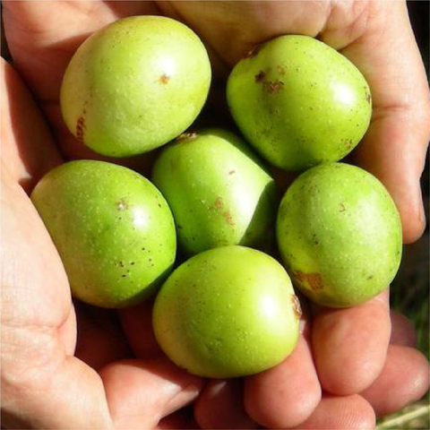 Marula Oil: Healer of Skin, Souls and the Environment