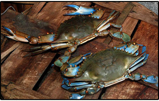 LIVE - Blue Crabs 1/2 Bushel and Full Bushel